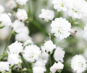 Buglyos fátyolvirág gyógyhatása