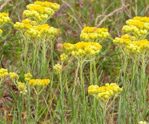 Homoki Szalmagyopár gyógyhatásai (Helichrysum arenarium)