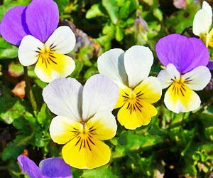 vadarvacska_arvacska_gyogyhatasa_Viola_tricolor